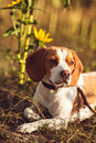 A Young Beagle Dog In The Nature