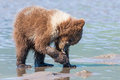 Young bear clamming alaskan coastal brown cub eating razor clam Royalty Free Stock Image
