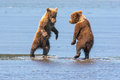 Young bear cubs playing two first year alaskan coastal brown on watery beach Stock Image