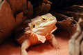 Young bearded dragon shedding a skin around her neck while coming out from under a log in her habitat Stock Images