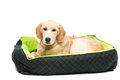 Young beautiul golden retriever dog Royalty Free Stock Photo