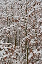 Young beeches sprinkled with snow south bohemia czech republic Royalty Free Stock Photography
