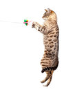 Young bengal cat kitten clawing air jumping upwards towards toy Stock Photos