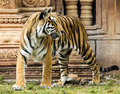 Young bengal tiger by indian structure Royalty Free Stock Photos