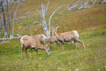 Young big horn sheep eating grass Stock Photography
