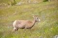 Young big horn sheep eating at mount washburn trail Stock Photos