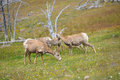 Young big horn sheep in mount washburn hiking trail yellowston yellowstone national park wy Royalty Free Stock Photography