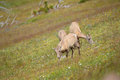 Young big horn sheep in mount washburn hiking trail yellowston yellowstone national park wy Royalty Free Stock Photos