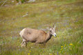 Young big horn sheep in mount washburn hiking trail yellowston yellowstone national park wy Royalty Free Stock Images