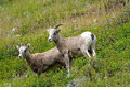 Young big horn sheep near glacier national park Stock Image