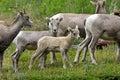 Young big horn sheep near glacier national park Royalty Free Stock Photos