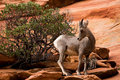 Young Big Horn Sheep On Red Rocks Stock Photography