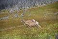 Young big horn sheep walking Royalty Free Stock Image