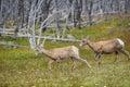Young big horn sheep Royalty Free Stock Photo