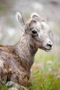 Young bighorn sheep Stock Images
