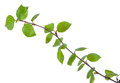 Young birch branches Royalty Free Stock Photo