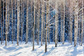 Young birch forest in winter on a sunny day Royalty Free Stock Photo