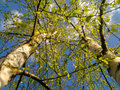 Young birch trees in the sun bottom view of two with green foliage Stock Photos