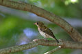 Young bird of blue and white flycatcher on the tree branch in summer Royalty Free Stock Photography