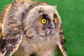 Young bird owl angry on green background Stock Photography