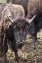 Young bison with small horns a close up of a and shedding a coat Royalty Free Stock Photo
