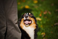 Young black Australian shepherd training Stock Image