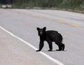Young black bear crossing the road a ursus americanus shot in banff national park alberta canada Royalty Free Stock Image