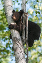 Young black bear ursus americanus clings to tree captive anima Royalty Free Stock Image
