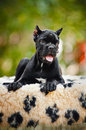 Young black Cane Corso puppy lying in front Stock Photo