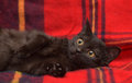 Young black cat on a red Royalty Free Stock Photo
