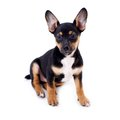 Young black coat puppy dog isolated on white Royalty Free Stock Photo
