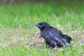 Young black crow sitting in green grass Royalty Free Stock Photo
