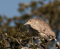 Young Black-crowned Night Heron Stock Image