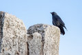 Young black jackdaw sitting on a rock Royalty Free Stock Photo
