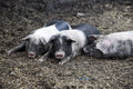 Young black pigs Royalty Free Stock Photo
