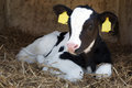 Young black and white calf lies in straw and looks alert Royalty Free Stock Photo