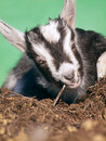 Young black white goatling Royalty Free Stock Photo
