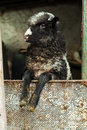 Young black white lamb domestic farm Royalty Free Stock Images