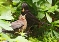 Young blackbird Stock Image