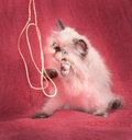 Young Blue Point Himalayan Persian kitten Royalty Free Stock Photo