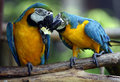 Young blue and yellow macaw in zoo Royalty Free Stock Images