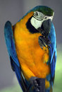 Young blue and yellow macaw in zoo Royalty Free Stock Photo