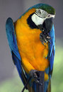 Young blue and yellow macaw in zoo Royalty Free Stock Image