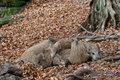 Young boars Sus scrofa Royalty Free Stock Photo