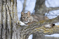 Young bobcat a hiding in a tree and looking straight ahead Royalty Free Stock Image