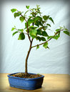 Young bonsai tree birch in blue bowl Stock Images