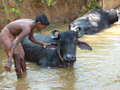 Young boy washes his  water buffalo Royalty Free Stock Photo