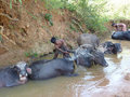 Young boy washes his  water buffalo Stock Image