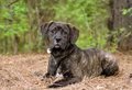 Young Brindle Mastiff puppy dog Royalty Free Stock Photo