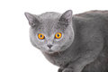 Young British blue cat sitting on isolated white Royalty Free Stock Photos
